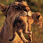 Lion 32 Art Print