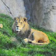 Lion At Leisure Art Print