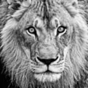 Lion Bw Art Print