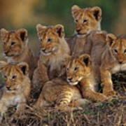 Lion Cubs Art Print