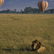 Lion Ignores Balloons Art Print