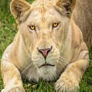 Lion Nature Wear Art Print