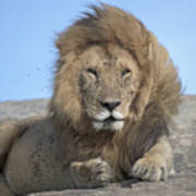 Lion On Mound Art Print