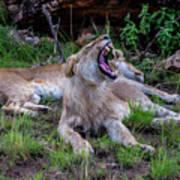 Lion Roar/2 Art Print