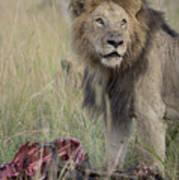 Lion With Kill Art Print