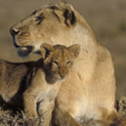 Lioness And Her Cub  Art Print