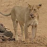 Lioness At The Kill Art Print