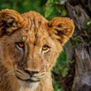 Lioness Cub Art Print