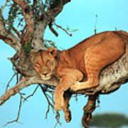 Lioness In Africa Art Print