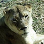 Lioness Peering Art Print
