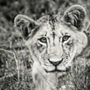 Lioness Portrait Art Print