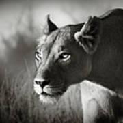 Lioness Stalking Art Print