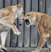 Lioness's Playing 1 Art Print