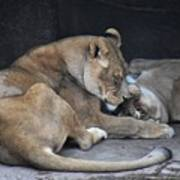 Lioness's Playing 2 Art Print