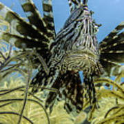 Lionfish Confrontation Art Print