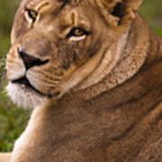 Lions Beauty Art Print