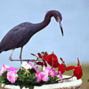 Little Blue Heron In Flower Pot Art Print