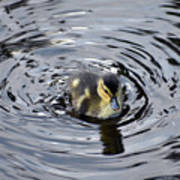 Little Duckling Goes For A Swim Art Print