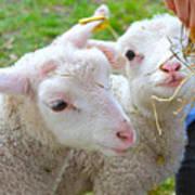 Little Lambs Eat Straw Not Ivy Art Print