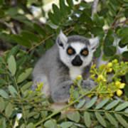 Little Ring-tailed Lemur Art Print