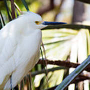 Little Snowy Egret Art Print