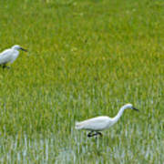 Little White Egret Art Print