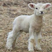 Little White Lamb Art Print