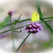 Little Yellow Butterfly On Verbena Art Print