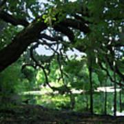 Live Oak Hidden Pond Art Print