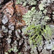 Live Oak Lichen II Art Print