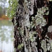 Live Oak Lichen Art Print