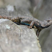 Lizard On Wood Fence Shiloh Tennessee 031620161698 Art Print