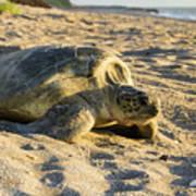 Loggerhead Sea Turtle Returning To The Ocean Art Print