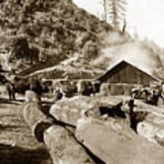 Logging With Oxen At A Saw Mill Sonoma County California Circa 1900 Art Print