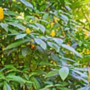 Lollipop Bush In Bourbon Resort Gardens Near Iguazu Falls National Park-brazil  Art Print