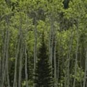 Lone Evergreen Amongst Aspen Trees Print by Raymond Gehman
