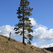 Lone Pine, Yellowstone Art Print