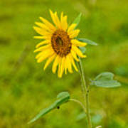 Lone Sunflower Art Print