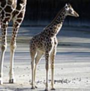 Long Legs - Giraffe Art Print