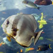 Longfin Batfish Art Print