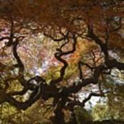 Looking Thru A Japanese Maple Art Print