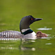 Loon And Chick Print by Brandon Broderick
