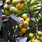 Loquat Exotic Tropical Fruit  2 Art Print