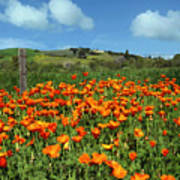Los Olivos Poppies Art Print