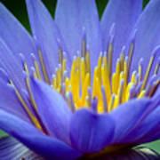 Lotus 6 Art Print