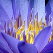 Lotus 9 Art Print