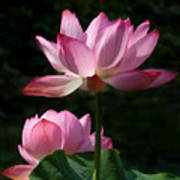 Lotus Beauties--upstaged Dl048 Art Print