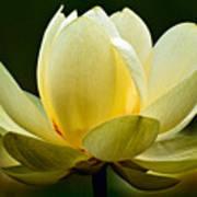 Lotus Blossom Art Print