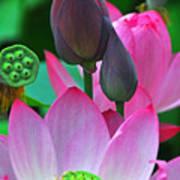 Lotus Blossoms  Art Print
