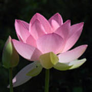 Lotus Bud--snuggle Bud Dl005 Art Print by Gerry Gantt